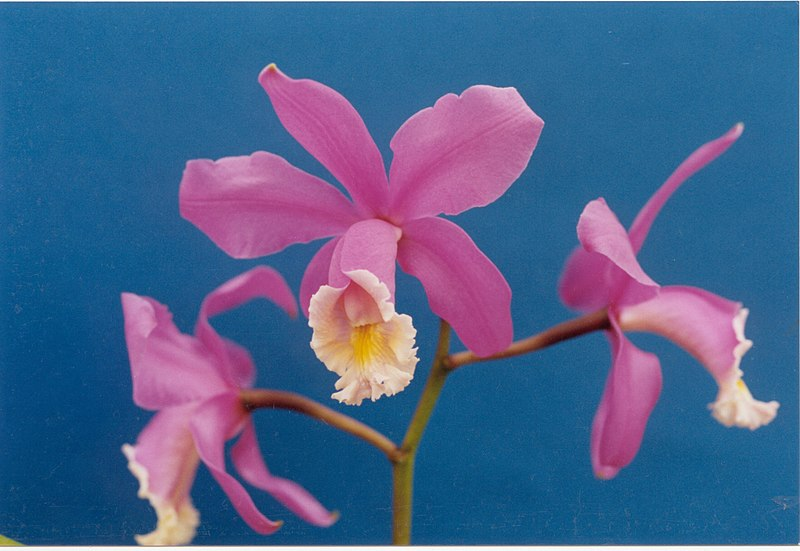 File:A and B Larsen orchids - Cattleya harrisoniana 78-10.jpg