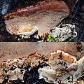 A combination of 3 species of Mushrooms at one spot at the Beech art at 't Panorama school Arnhem - panoramio.jpg