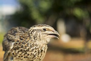 Common quail - Image: A common quail in Lebanon