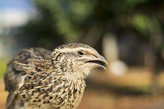 Common quail Species of bird