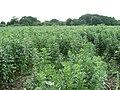 A crop of field beans - geograph.org.uk - 1367307.jpg