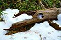 A fallen tree - Flickr - odako1.jpg
