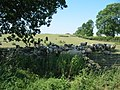 A flock of sheep take shelter from the midday sun in the July heatwave - geograph.org.uk - 204360.jpg