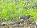 A green heron on the Wildlife Loop at Chincoteague National Wildlife Refuge - Assateague Island National Seashore. (5280461362).jpg