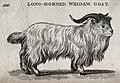 A long-horned whidaw goat. Etching. Wellcome V0021256.jpg