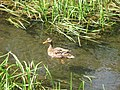 A mallard duck demonstrates the narrow channel through the reeds - geograph.org.uk - 1311796.jpg