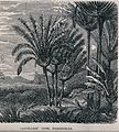 A stand of traveller's palms (Ravenala madagascariensis) in Wellcome V0043204.jpg