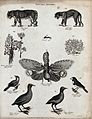 Above, two tigers, a fennel stalk and flower, an ant, and a Wellcome V0020669EL.jpg