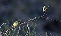 Abyssinian White-Eye (Zosterops abyssinicus) (45853986594).jpg
