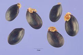 Acacia decurrens seeds.jpg