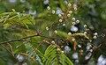Acacia pennata in Talakona forest, AP W IMG 8290.jpg
