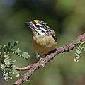 Acacia pied barbet (38727078252).jpg