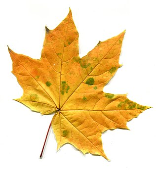 Acer leaves in autumn. Adaxial side.jpg