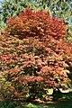 Acer palmatum 'Osakazuki' JPG1.jpg