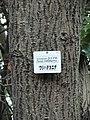 Acer rufinerve - Miyajima Natural Botanical Garden - DSC02308.JPG