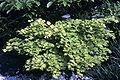 Acer shirasawanum WPC.jpg