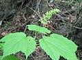 Acer spicatum flowers.jpg