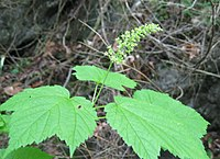 Acer spicatum flowers