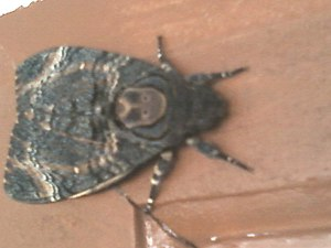 Acherontia styx - A death's-head hawkmoth in the terrace of a house near Tiruvannamalai hill in Tamil Nadu, southern India.