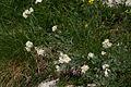 Achillea clavenae PID836-1.jpg