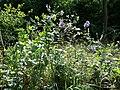Aconitum variegatum subsp. variegatum sl47.jpg