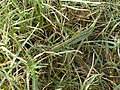 Acrida bicolor.jpg