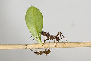 English: Leafcutter ant Acromyrmex octospinosu...