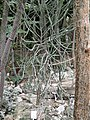 Adenia subsessilifolia - Palmengarten Frankfurt - DSC01662.JPG