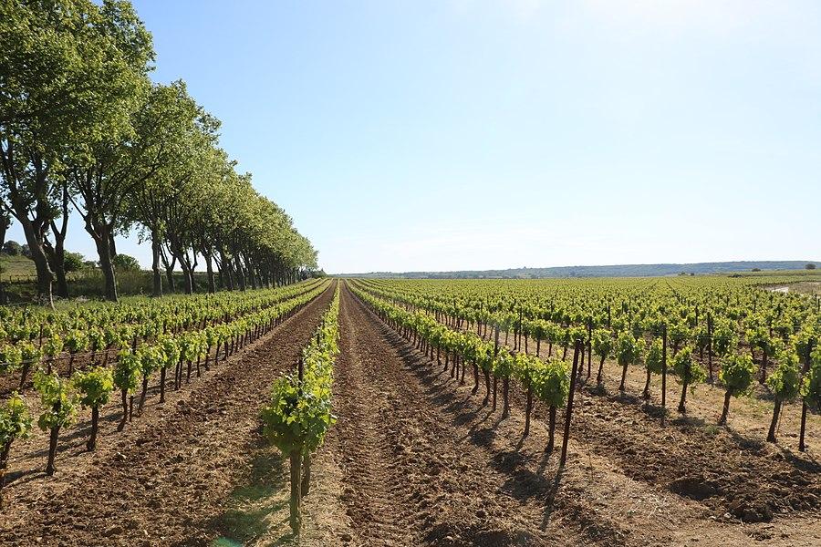 Adissan (Hérault) - vignoble et route de Nizas.