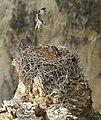 Adult osprey landing (21199681194).jpg