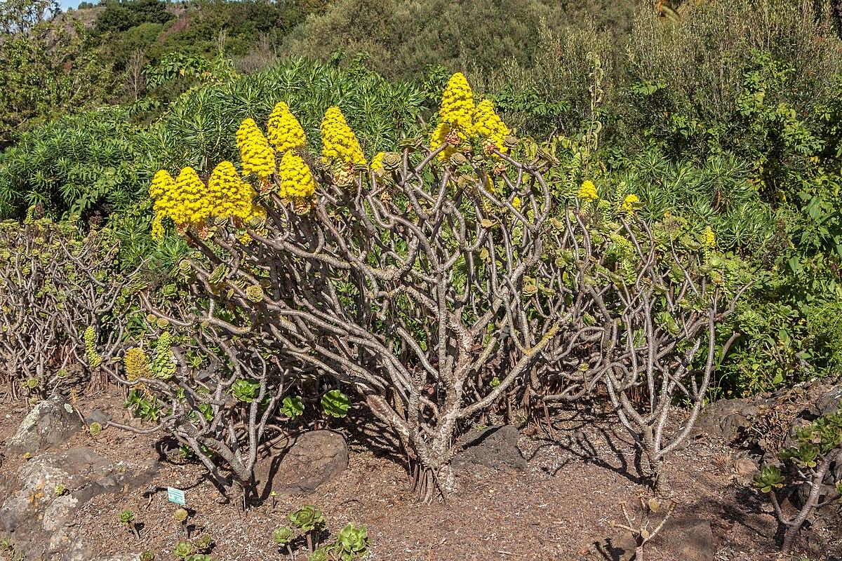 aeonium arboreum wikipedia