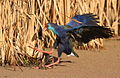 African Purple Swamphen, Porphyrio porphyrio at Marievale Nature Reserve, Gauteng, South Africa. (15318807741).jpg