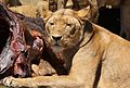 African lion, Panthera leo feeding at Krugersdorp Game Park, South Africa (29443240124).jpg
