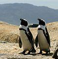 African penguins Boulder Bay 2.jpg