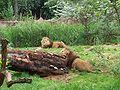 Afrika - Leeuwen (2).JPG