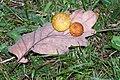 Agalla de Quercus 01 by-dpc.jpg