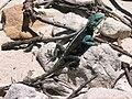 Agama atra - male Southern Rock Agama - Cape Town beach.JPG
