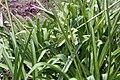 Agapanthus africanus 16zz.jpg