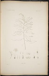 <i>Agatea</i> Genus of flowering plants in Eudicot family Violaceae