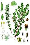 Agathosma betulina - Köhler–s Medizinal-Pflanzen-020.jpg