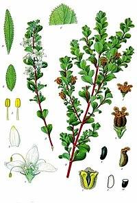 Agathosma betulina - Köhler–s Medizinal-Pflanzen-020