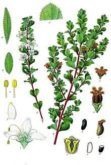 planche botanique du buchu