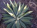 Agave species (5747082021).jpg