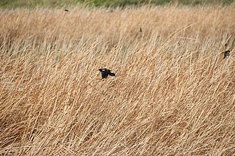 Tricolored blackbird - The tricolor blackbird breeds in large colonies such as this one in western Antelope Valley, California.