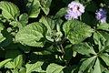 Ageratum houstonianum leaf2 (11508940314).jpg