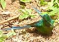 Aglaiocercus kingi (Silfo coliverde) - Macho - Flickr - Alejandro Bayer (1).jpg