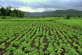 Agriculture farm Pune Maharashtra India.jpg