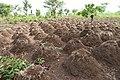 Agriculture in inland valleys in Benin - panoramio (4).jpg