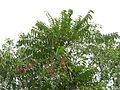 Ailanthus triphysa tree 01.JPG
