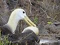 Albatross birds - Espanola - Hood - Galapagos Islands - Ecuador (4871619958).jpg